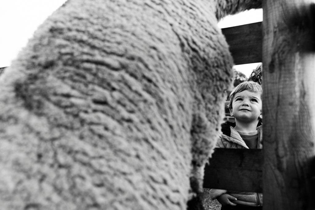 Family photograph of a little child looking at a sheep to be printed on giclee paper.